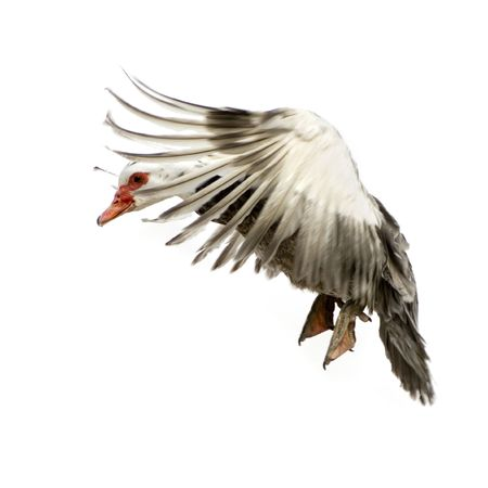 Muscovy Duck in front of a white background photo