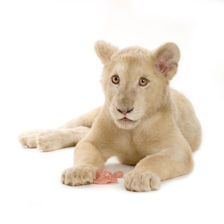 studio shot of a white Lion Cub  (5 months) in front of a white background. photo