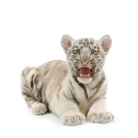 White Tiger cub (3 months) in front of a white background. photo