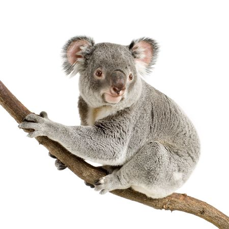 Koala in front of a white background photo
