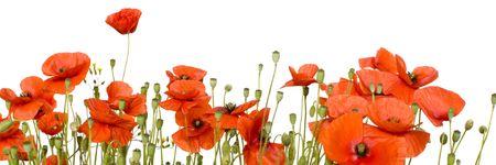 gelincikler: Wild poppies against a white background