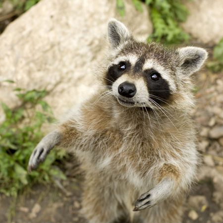 Standing raccoon staring at the camera