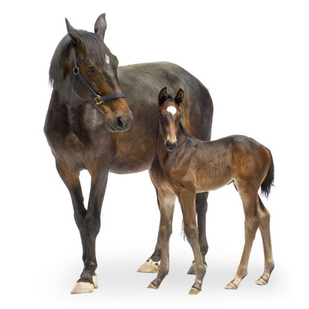 equitation: Shot of a Mare with her Foal (12 days) in front of a white background
