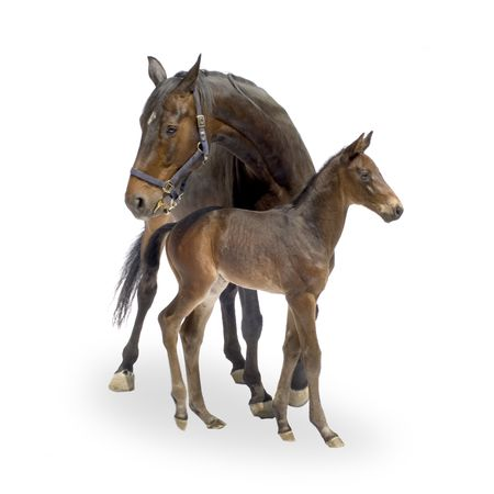 horse harness: Shot of a Mare with her Foal (12 days) in front of a white background