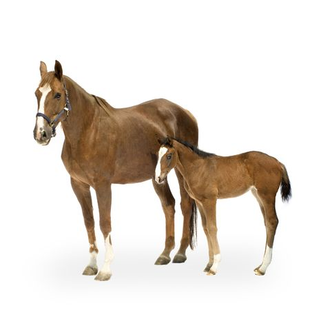horse harness: Shot of a Mare with her Foal in front of a white background Stock Photo