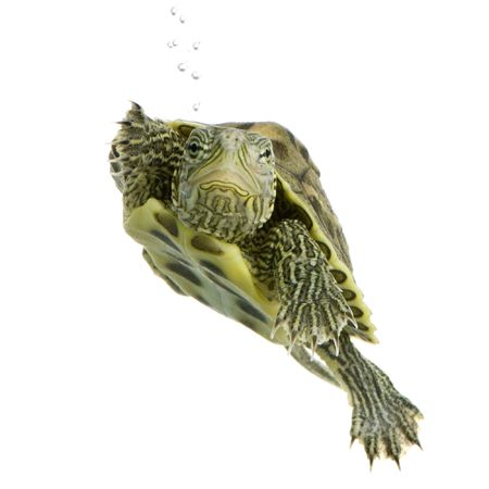 Turtle swimming in front of a white background Stock Photo - 989046