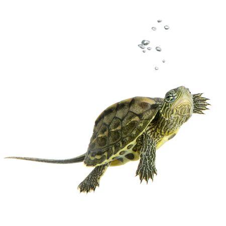 tortuga: Turtle nataci�n delante de un fondo blanco  Foto de archivo