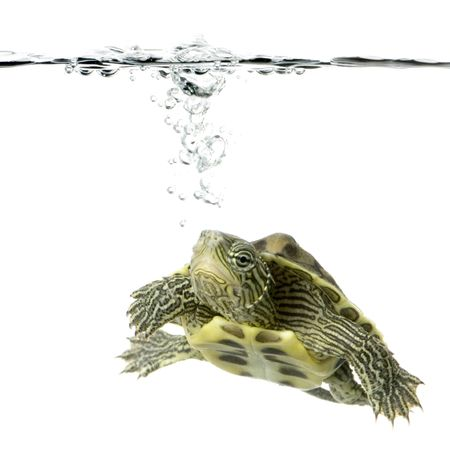Turtle swimming in front of a white background Stock Photo - 989051