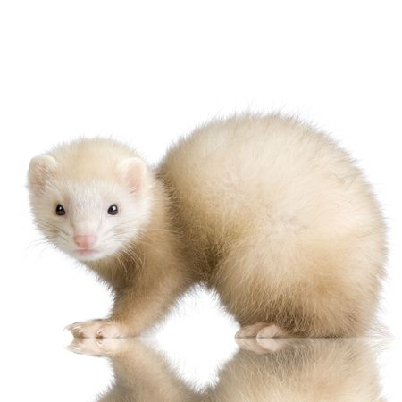 blue male Ferret kit (10 weeks) in front of a white background Stock Photo - 989063