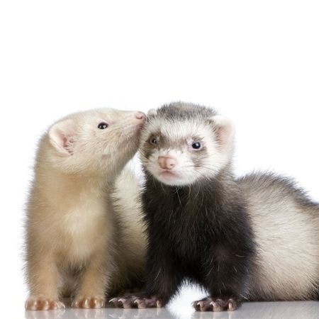 two Ferrets kits (10 weeks) in front of a white background photo