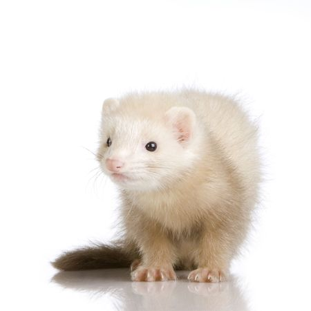 blue male Ferret kit (10 weeks) in front of a white background Stock Photo - 989259