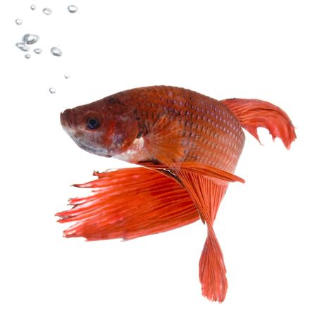 shot of a red Siamese fighting fish under water in front of a white background Stock Photo - 1124834