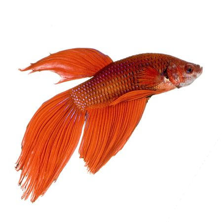 siamese fighting fish: shot of a red Siamese fighting fish under water in front of a white background