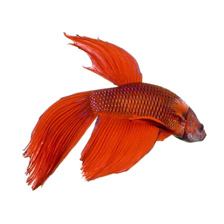 shot of a red Siamese fighting fish under water in front of a white background Stock Photo - 1124836