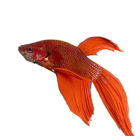 caudal: shot of a red Siamese fighting fish under water in front of a white background