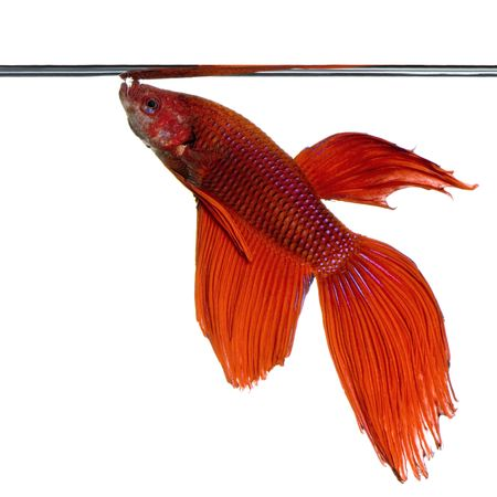 shot of a red Siamese fighting fish under water in front of a white background Stock Photo - 1124839