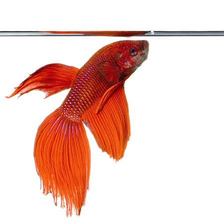 shot of a red Siamese fighting fish under water in front of a white background Stock Photo - 1124840