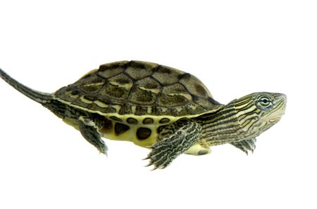 Turtle swimming in front of a white background Stock Photo - 1124860