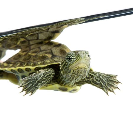 Turtle swimming in front of a white background Stock Photo - 1124861