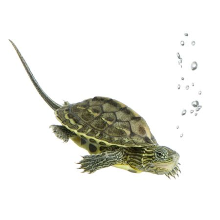 Turtle swimming in front of a white background Stock Photo - 1124866