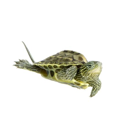 Turtle swimming in front of a white background Stock Photo - 1124867
