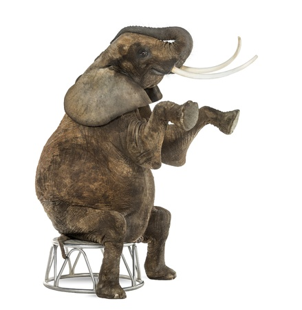 africana: African elephant performing, seated on a stool, isolated on white