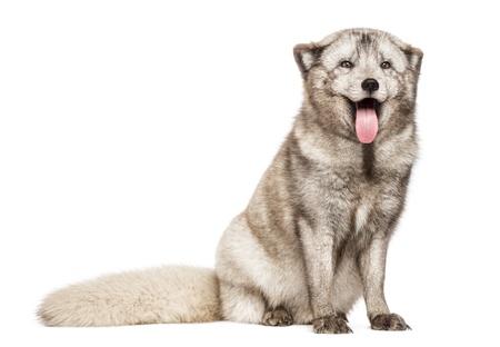 arctic fox: Arctic fox, Vulpes lagopus, also known as the white fox, polar fox or snow fox, sitting, panting, isolated on white