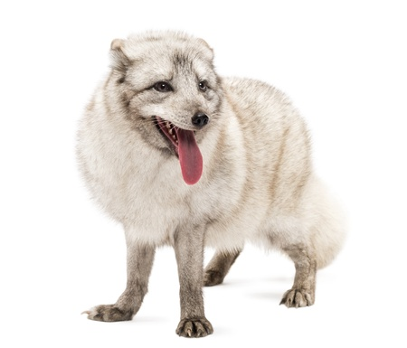 polar fox: Arctic fox, Vulpes lagopus, also known as the white fox, polar fox or snow fox, standing, panting, isolated on white  Stock Photo