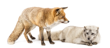 red animal: Red Fox, Vulpes vulpes, standing and Arctic Fox, Vulpes lagopus, lying, isolated on white Stock Photo