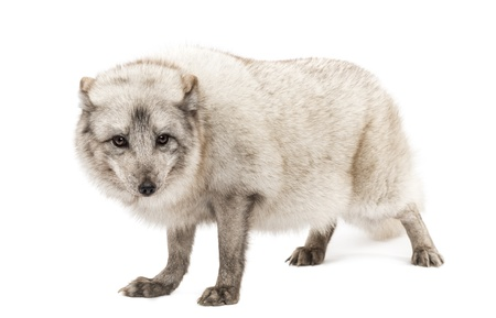 polar fox: Arctic fox, Vulpes lagopus, also known as the white fox, polar fox or snow fox, standing, looking a camera, isolated on white
