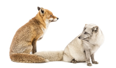 arctic fox: Red Fox, Vulpes vulpes and Arctic Fox, Vulpes lagopus, sitting, isolated on white Stock Photo
