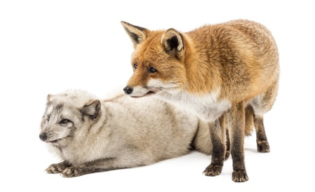 arctic fox: Red Fox, Vulpes vulpes, standing and Arctic Fox, Vulpes lagopus, lying, isolated on white Stock Photo