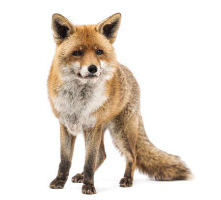 zorro: Zorro rojo, Vulpes vulpes, de pie, aislado en blanco