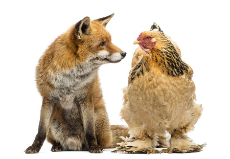red hen: Red fox, Vulpes vulpes, sitting next to a Hen, looking at each other, isolated on white