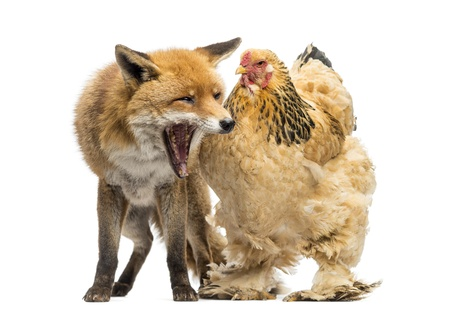 Red fox, Vulpes vulpes, sitting and yawning next to a Hen, isolated on white photo