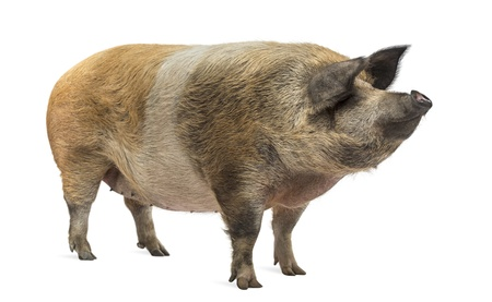 pig out: Domestic pig standing and looking away, isolated on white Stock Photo