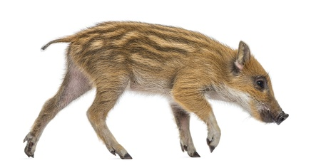 sus: Wild boar, Sus scrofa, also known as wild pig, 2 months old, walking and sniffing, isolated on white
