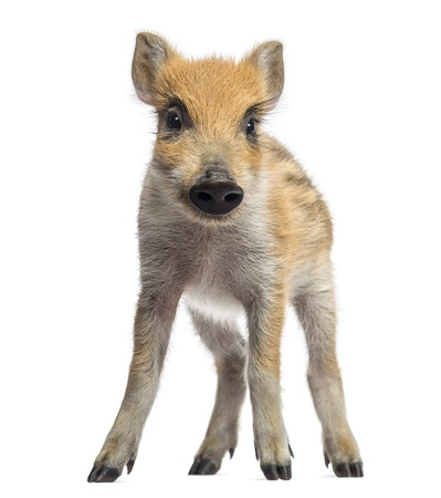 scrofa: Wild boar, Sus scrofa, also known as wild pig, 2 months old, standing, isolated on white