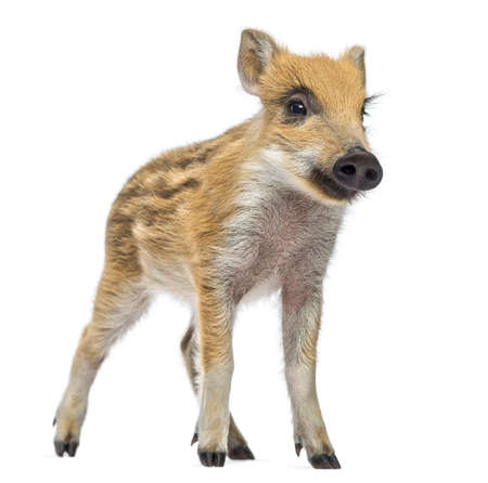 scrofa: Wild boar, Sus scrofa, also known as wild pig, 2 months old,standing and looking away, isolated on white