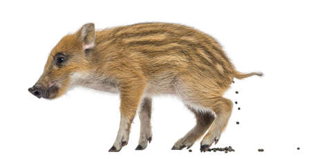 sus: Wild boar, Sus scrofa, also known as wild pig, 2 months old, defecating, isolated on white