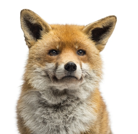 head shots: Close-up of a Red fox, Vulpes vulpes, isolated on white Stock Photo