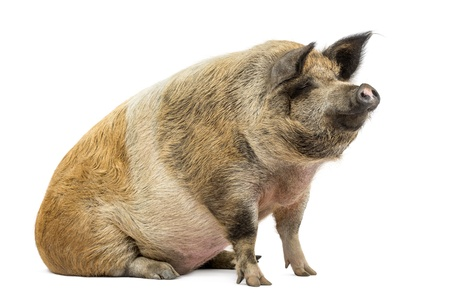 pig out: Domestic pig sitting and looking away, isolated on white Stock Photo