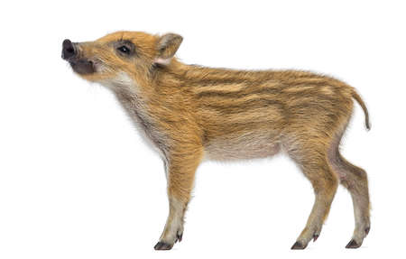scrofa: Wild boar, Sus scrofa, also known as wild pig, 2 months old, standing and looking up, isolated on white