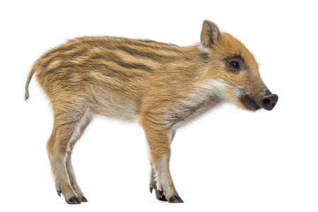 sus: Wild boar, Sus scrofa, also known as wild pig, 2 months old, standing, isolated on white