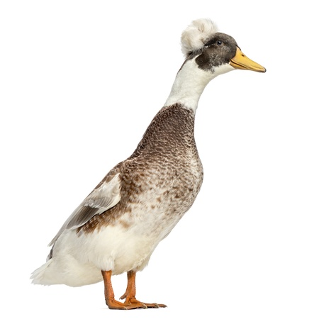 crested duck: Male Crested Duck, lophonetta specularioides, standing, isolated on white Stock Photo