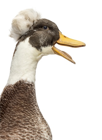 crested duck: Close up of a Male Crested Duck, lophonetta specularioides, quacking, isolated on white