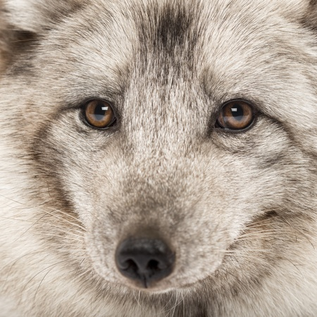 arctic fox: Close-up of a Arctic fox, Vulpes lagopus, also known as the white fox, polar fox or snow fox Stock Photo
