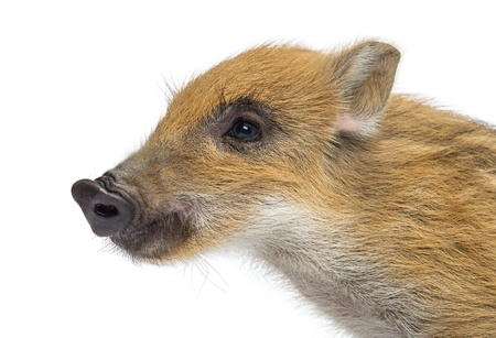 scrofa: Wild boar, Sus scrofa, also known as wild pig, 2 months old, looking away, isolated on white