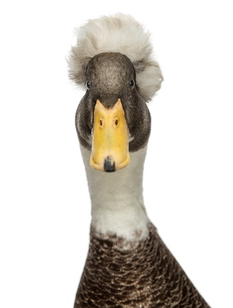 crested duck: Close-up of a Male Crested Ducks, lophonetta specularioides, looking at camera, isolated on white