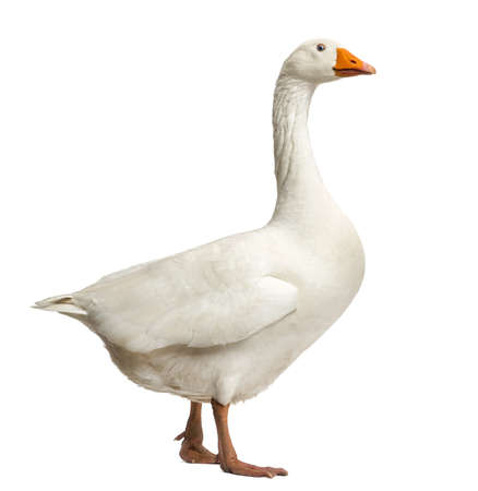 Domestic goose, Anser anser domesticus, standing, isolated on white photo